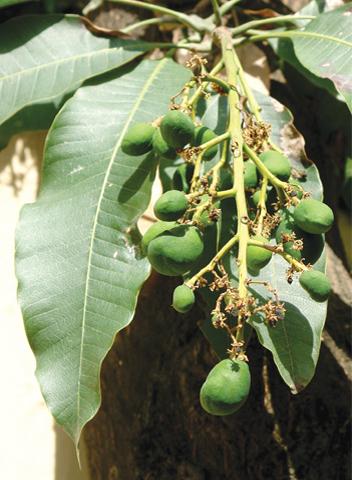 Developing mangoes