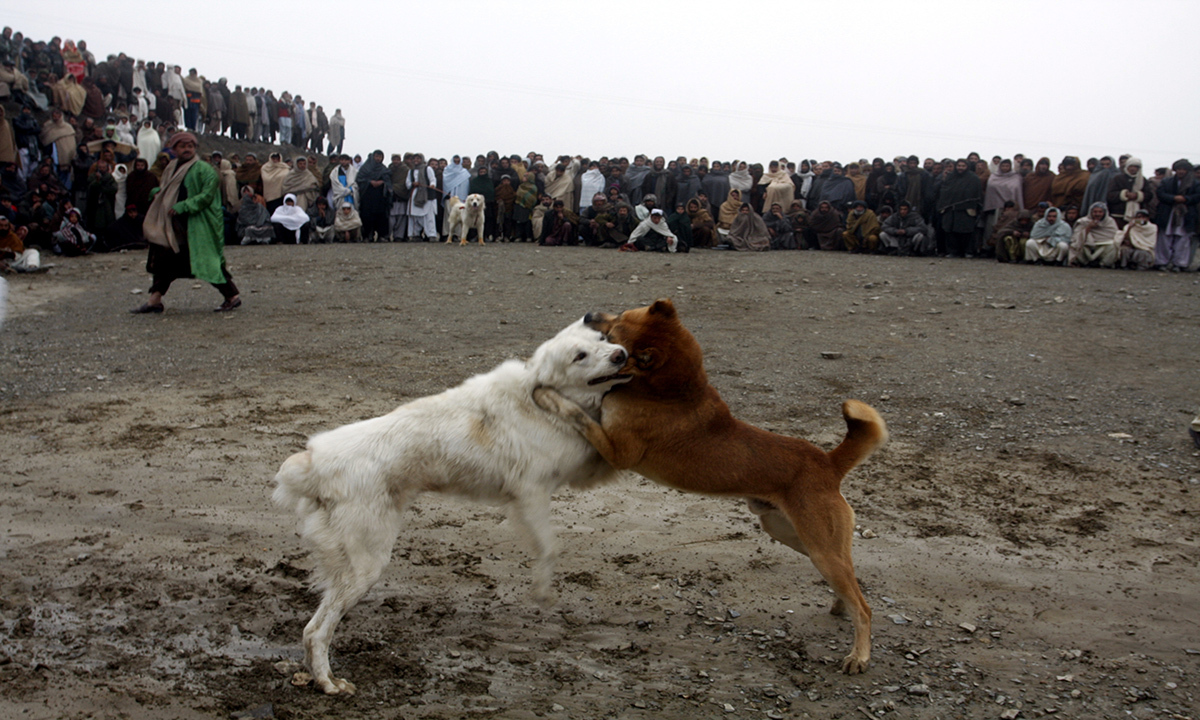 Locals enjoy dog-fighting in a ground near Chaman border. Dog fighting is illegal in Pakistan but remains a popular recreation for the locals.
