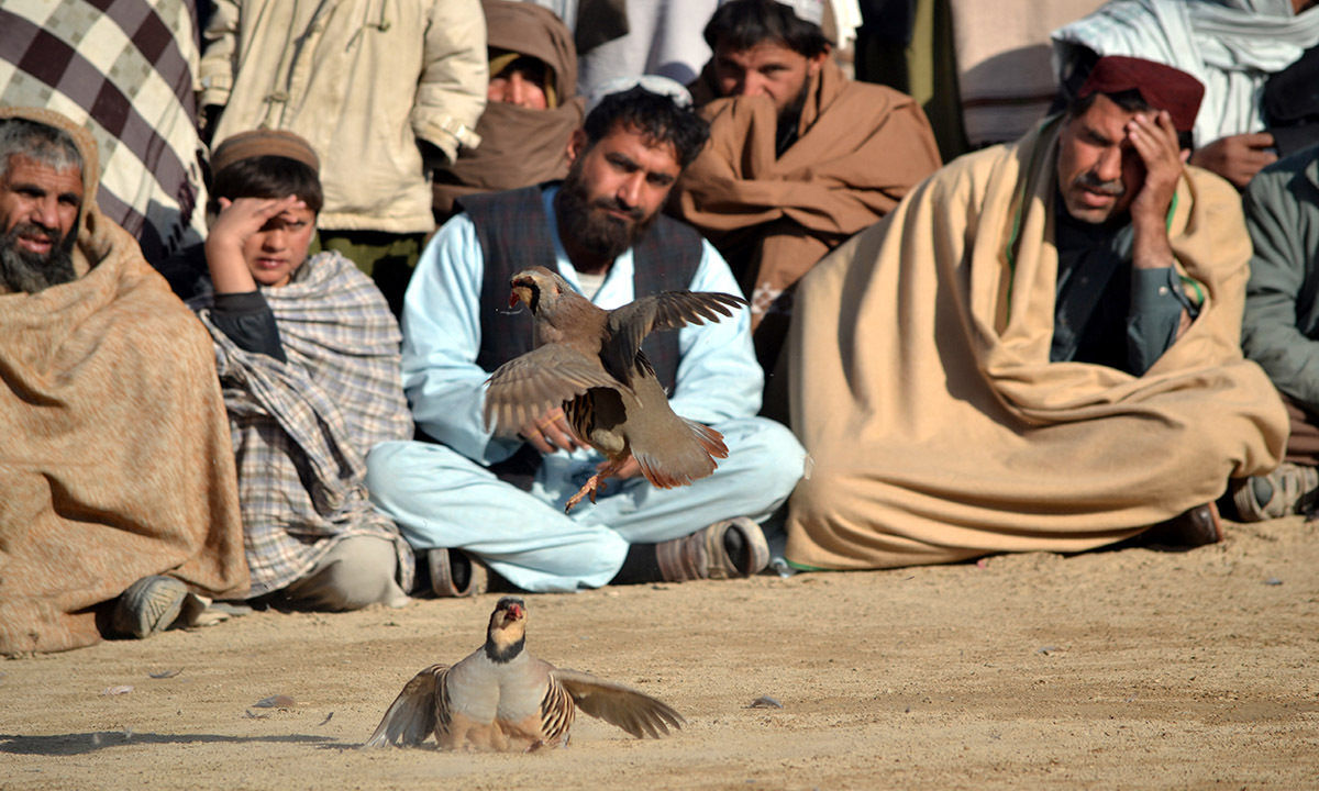Spectators press closer to see the red-legged partridge fight.