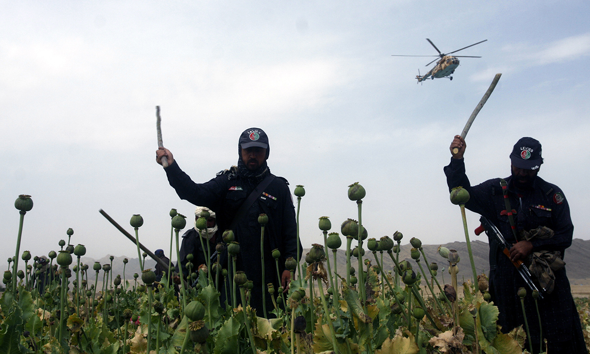 Local authorities destroy poppy cultivation.