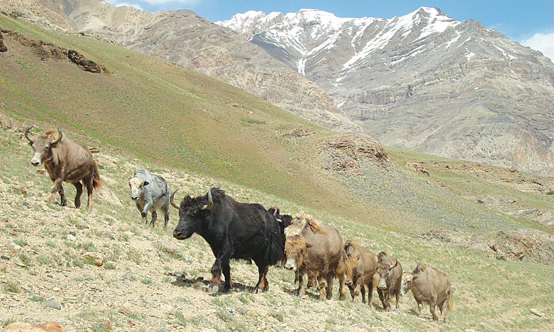 Yaks are a source of livelihood for the locals