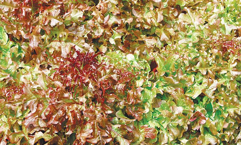 Oak-leaved lettuce for year-round freshness