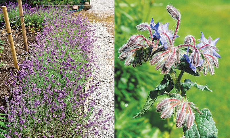Herb: borage & Lavender herb