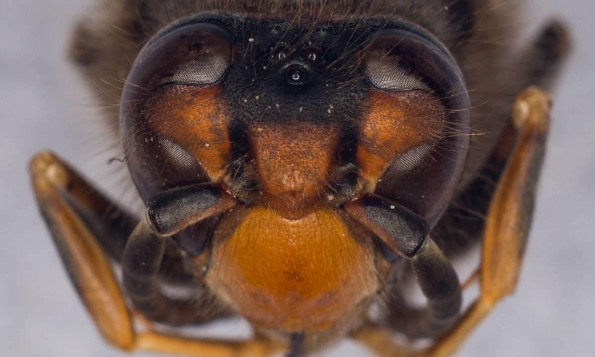 Asian hornet (Vespa Velutina) at the Research Institute of Biology of the Insect (IRBI) in Tours, central France. Photo-by-AFP