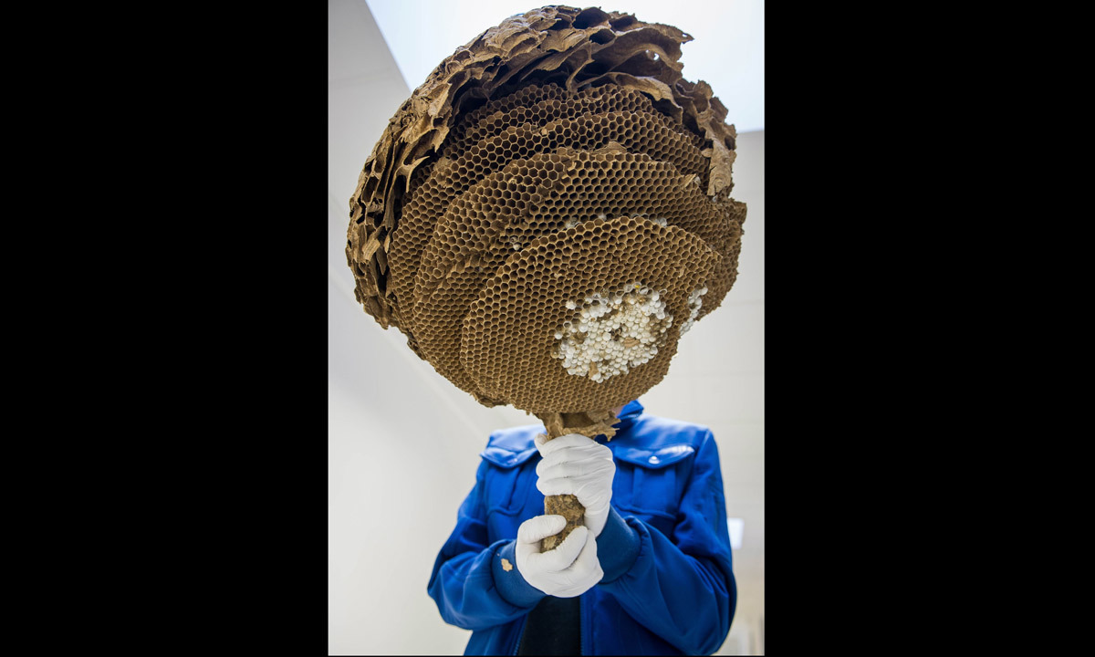 Asian Hornet (Vespa Velutina) nest, without its envelope, on September 30, 2014 at the Research Institute of Biology of the Insect (IRBI) in Tours, central France. Photo-by-AFP