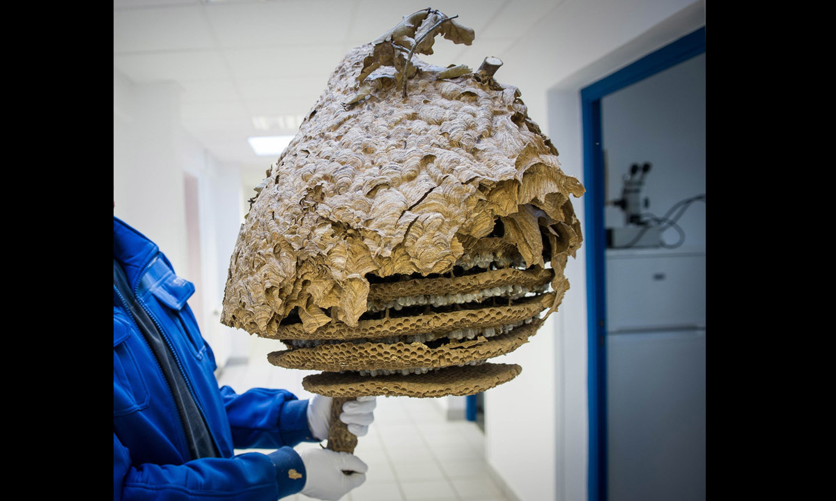 Asian Hornet (Vespa Velutina) nest, without its envelope, at the Research Institute of Biology of the Insect (IRBI) in Tours, central France. Photo-by-AFP