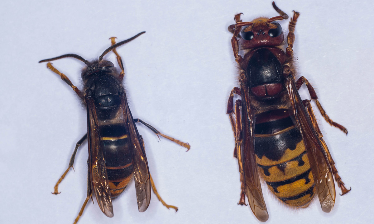 Asian hornet (Vespa Velutina) (Left) and an European hornet (Vespa Crabro), at the Research Institute of Biology of the Insect (IRBI) in Tours, central France. Photo-by-AFP
