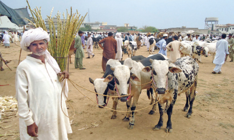 Shah Muhammad stands along with his three calves at Cattle Market in Chakwal.