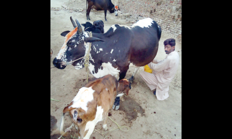 A man milks his cow of Dhanni breed. — Dawn