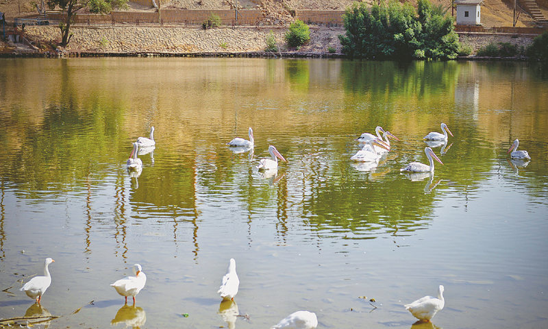 THE remaining 11 pelicans in their enclosure at Safari Park on Saturday.—White Star