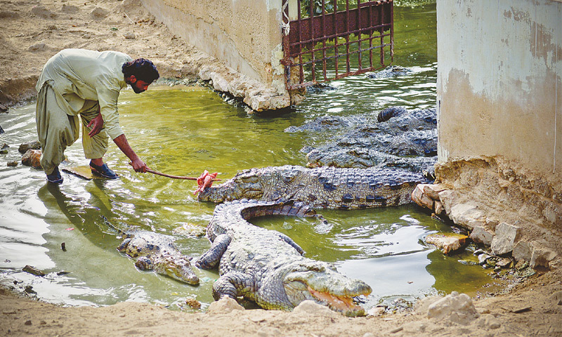 CROCODILES living in a pond next to the Sakhi Sultan Manghopir shrine are occasionally given meat by devotees who rarely visit it. The four-day Sheedi Mela at the mausoleum has been discontinued since 2010 due to security threats.—Fahim Siddiqi / White Star