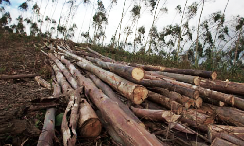 The federal government has completely banned the harvesting of forests since 1993.   - Reuters/file
