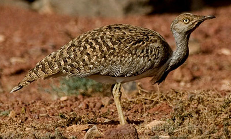 The hunting of the Houbara bustard by Pakistanis is banned under wildlife laws. —File photo