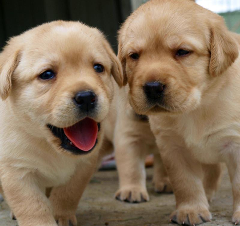 Labrador puppies.—Photo: Creative Commons