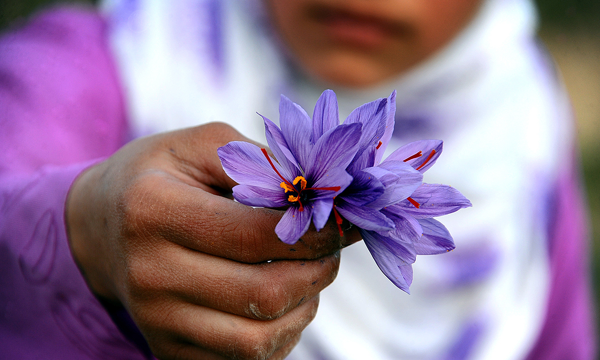 A worker poses for a photograph with a saffron flower. - AFP