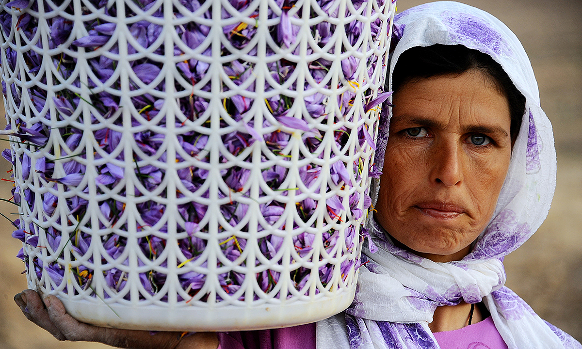 A worker uses a basket to carry saffron flowers in the Ghoriyan District of Herat. - AFP