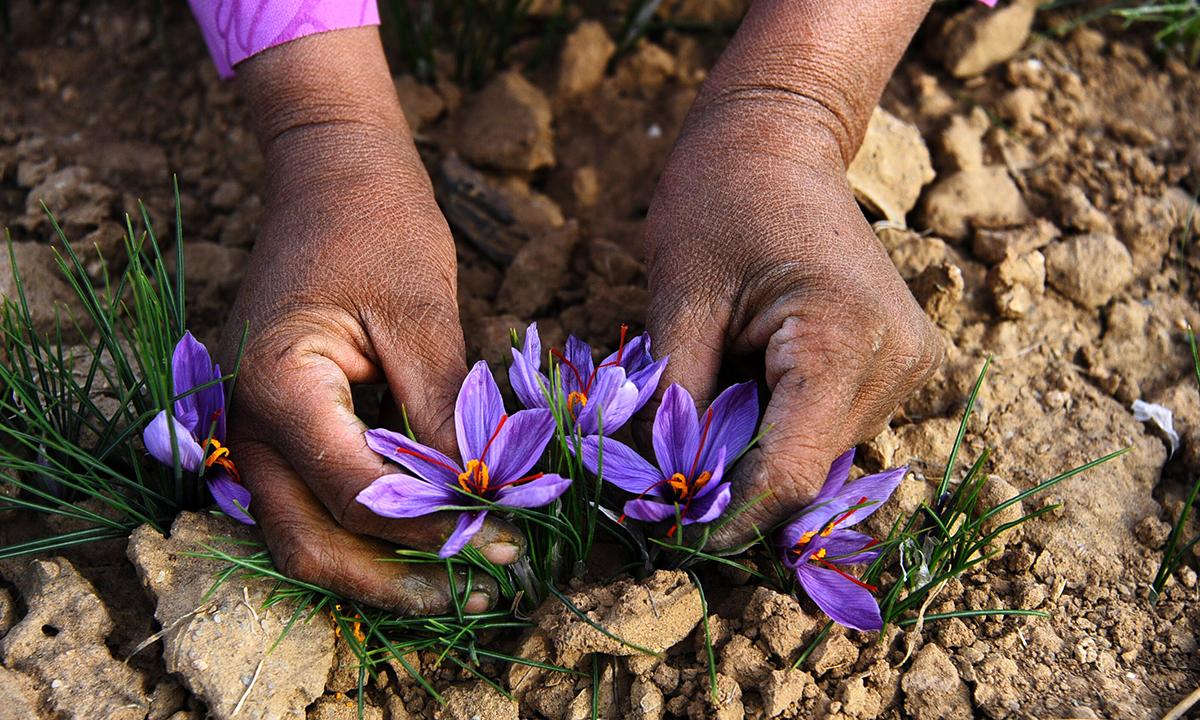 A worker picks saffron flowers in the Ghoriyan District of Herat. - AFP