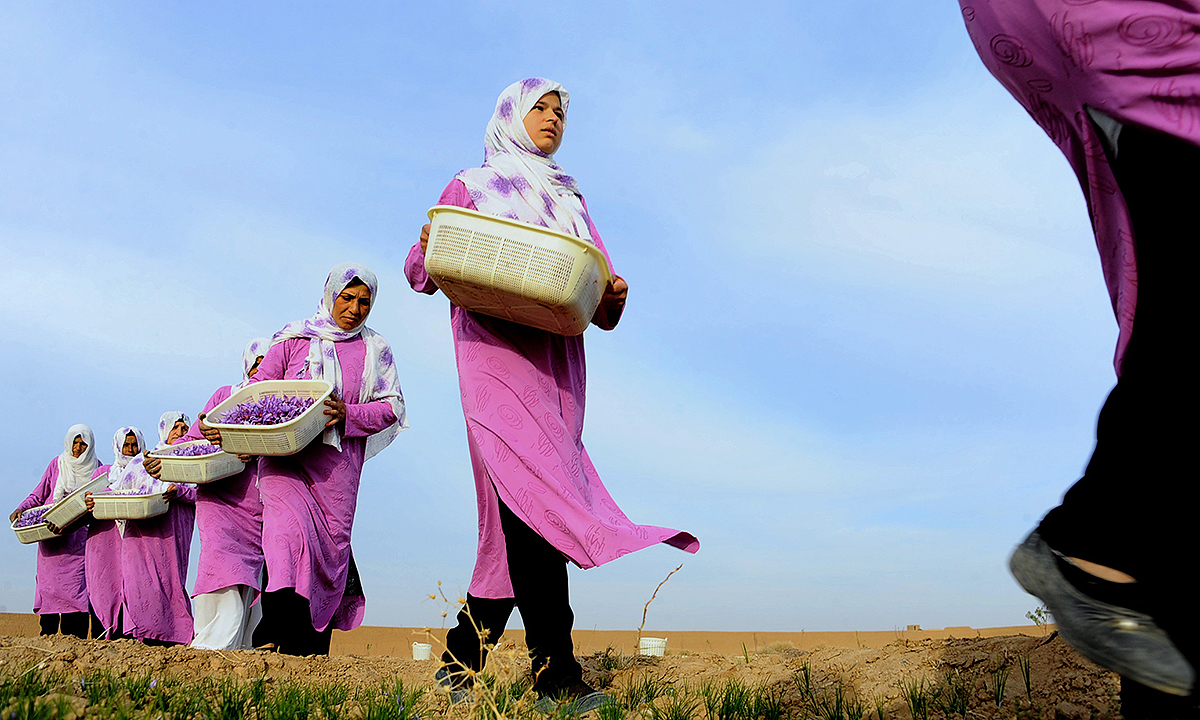 Workers carry picked saffron flowers to be delivered to a farmer in the Ghoriyan District of Herat.- AFP