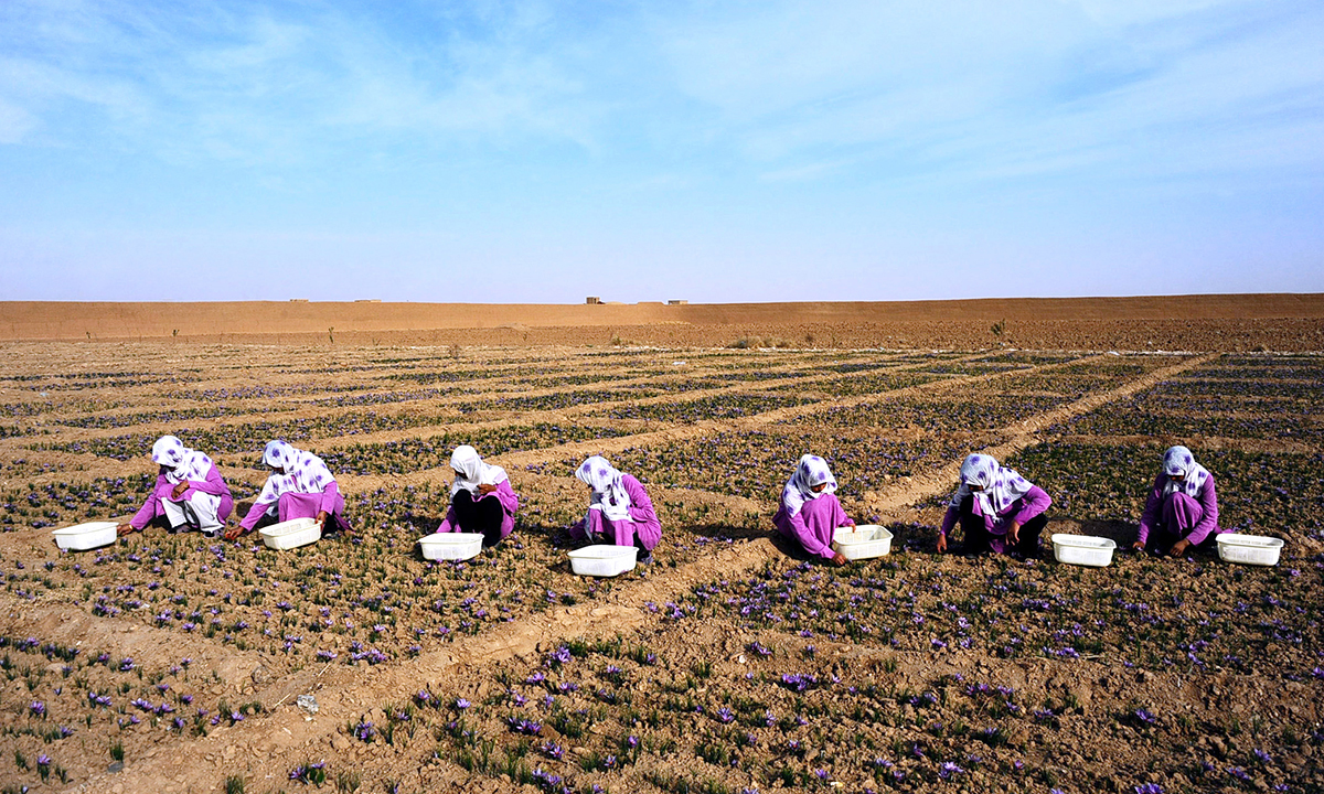 Afghan workers carry picked saffron flowers to be delivered to a farmer in the Ghoriyan District of Herat. - AFP