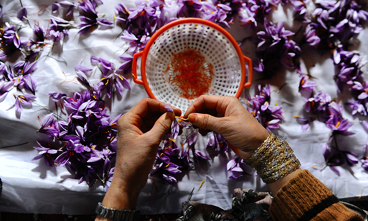 A worker cleans and sorts saffron flowers at a home in the Ghoriyan District of Herat. - AFP