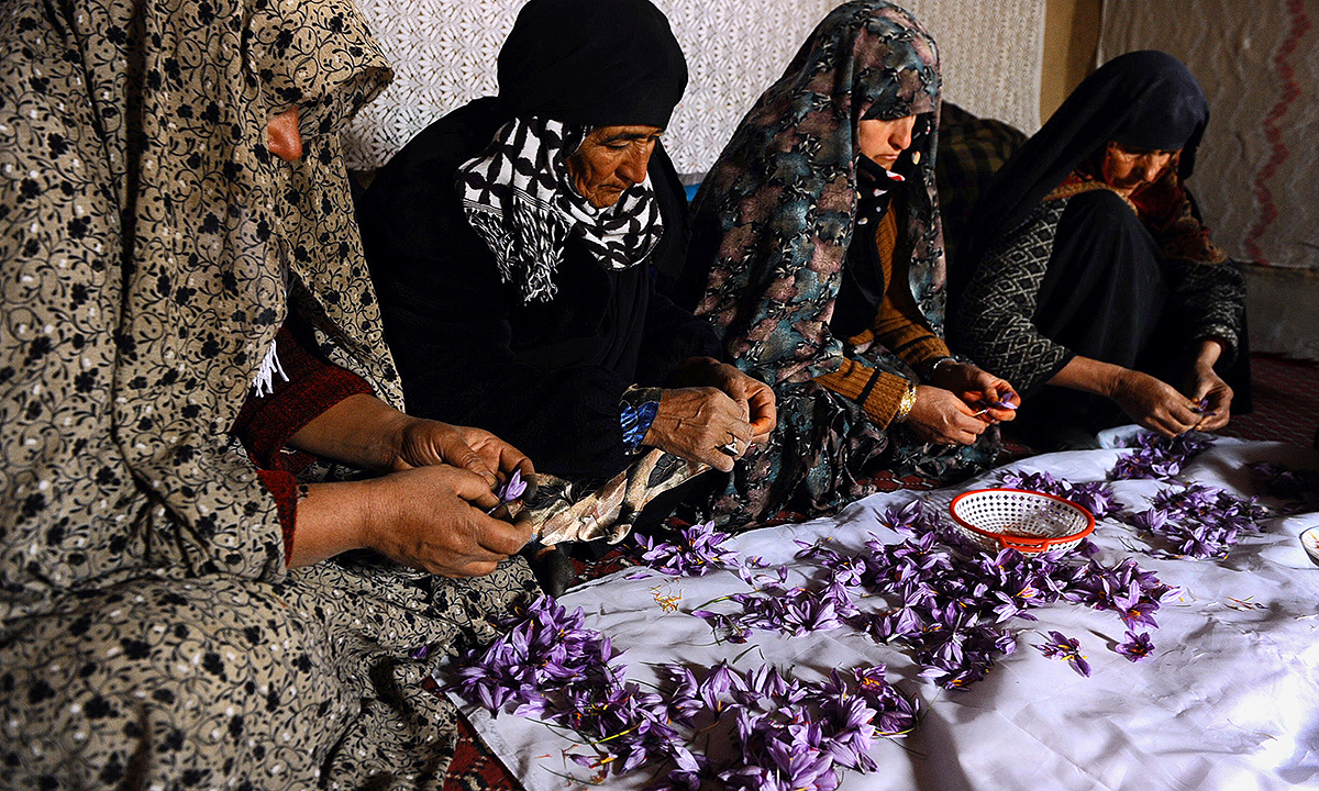 Workers clean and sort saffron flowers at a home in the Ghoriyan District of Herat. - AFP