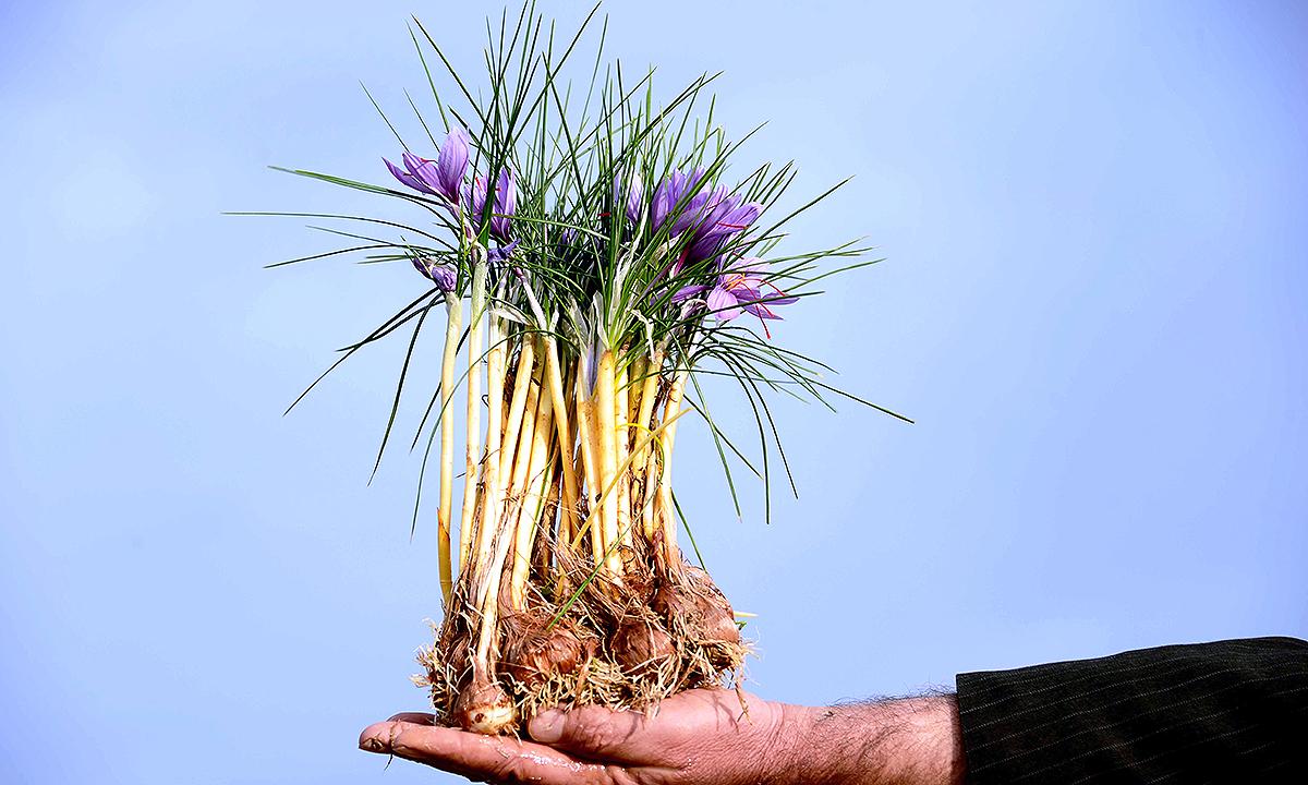 A labourer poses for a photograph holding saffron flowers. - AFP
