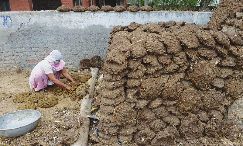 Agra: A villager makes cow dung cakes for use as fuel.—AFP