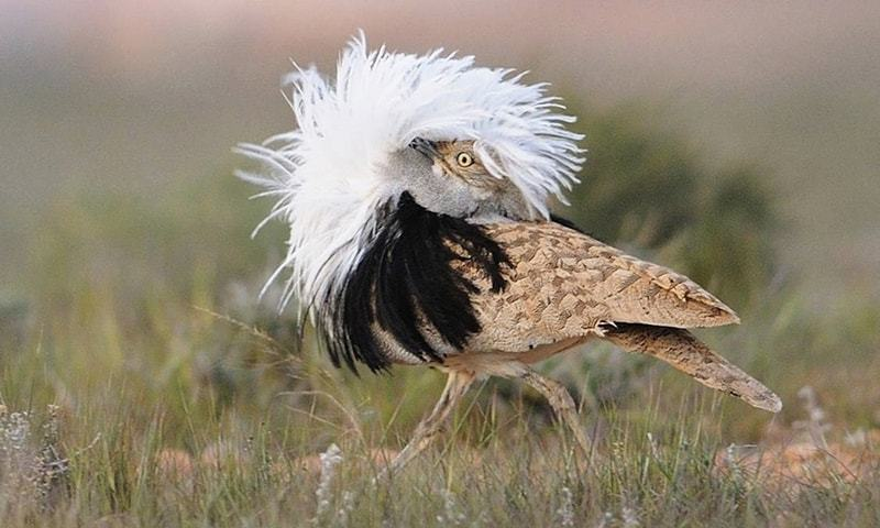 The endangered Houbara Bustard - Creative Commons
