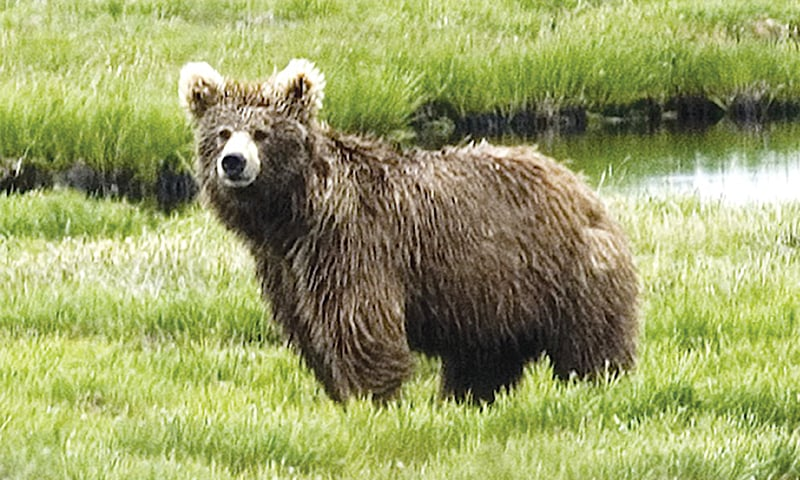 Brown bears are at the top of the food chain in the Deosai plateau