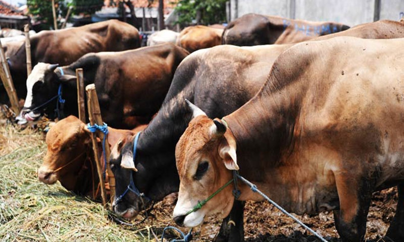 The Indian state of Maharashtra has  banned the possession and sale of beef. — AFP/File