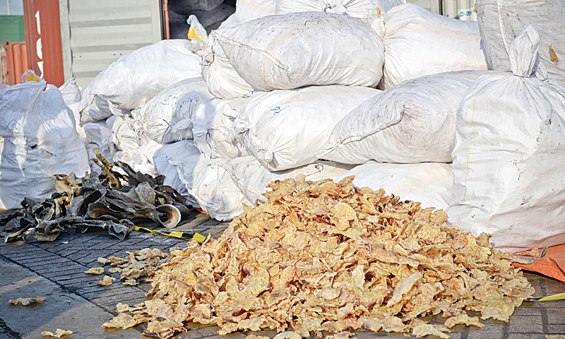 Dried body parts of Indian narrow-headed softshell turtles on display at the container terminal on Thursday.—White Star