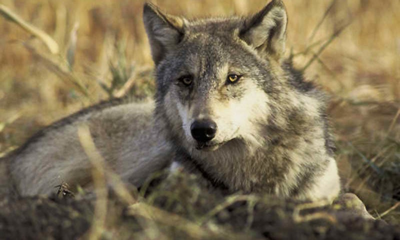 According to locals, a couple of days ago a pair of rare Indian wolves killed a goat of a local herdsman near Jogiani and Makili villages near Choti Bala.  — Reuters/file