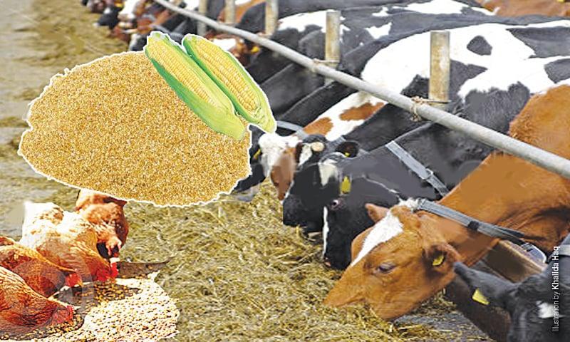 Maize cobs meal for livestock - Newspaper - DAWN COM