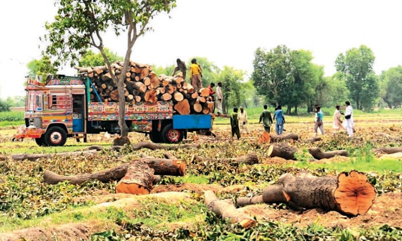 Trees being removed from land purchased by the Punjab government for setting up the coal-fired power plant. —Photo by Dawn