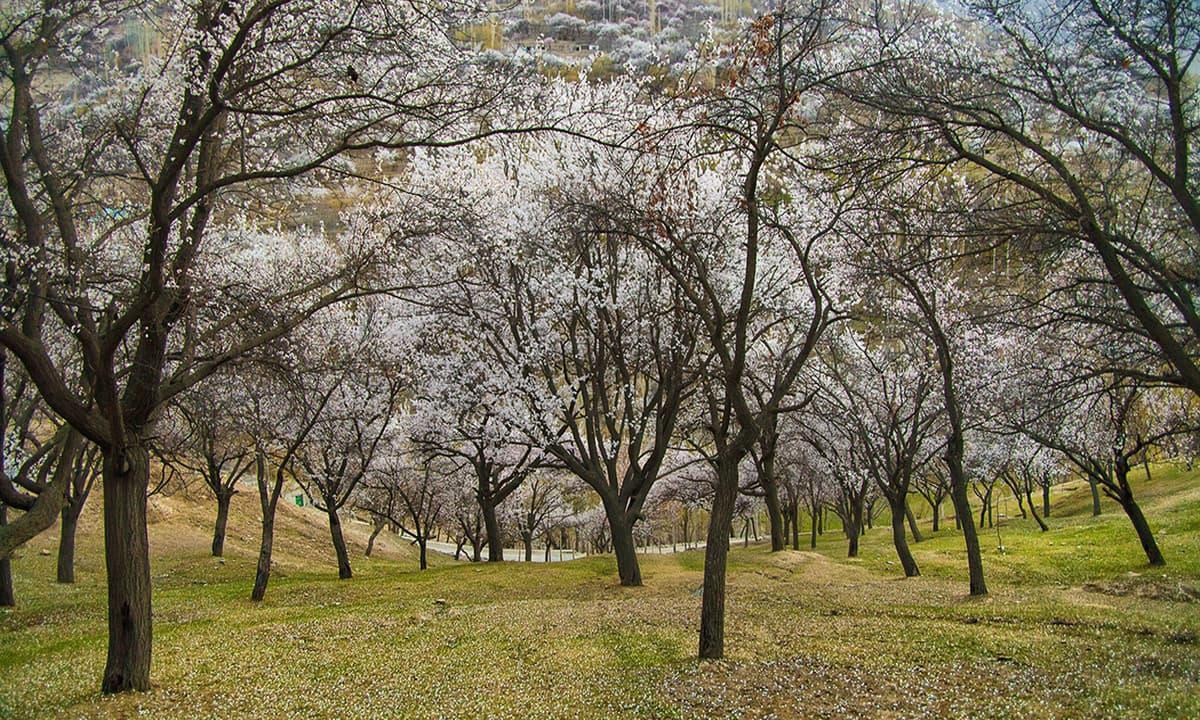 Cherry blossom in garden.
