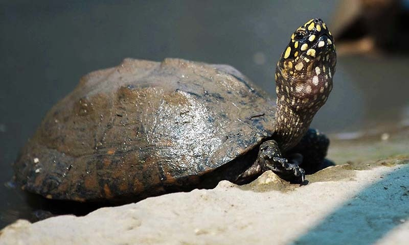 'Sharp contrast in expert views in Pakistan over the extent of sea turtle mortality was a serious problem.'—AFP/File