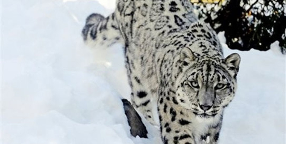 There is little information and research done on one of the most elusive predators in the world.—AP/File