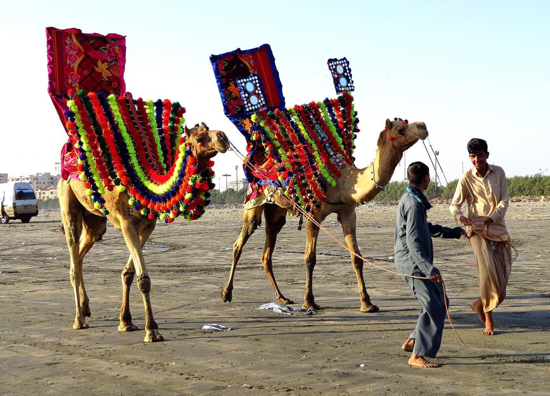 Camels at Clifton beach, Karachi.