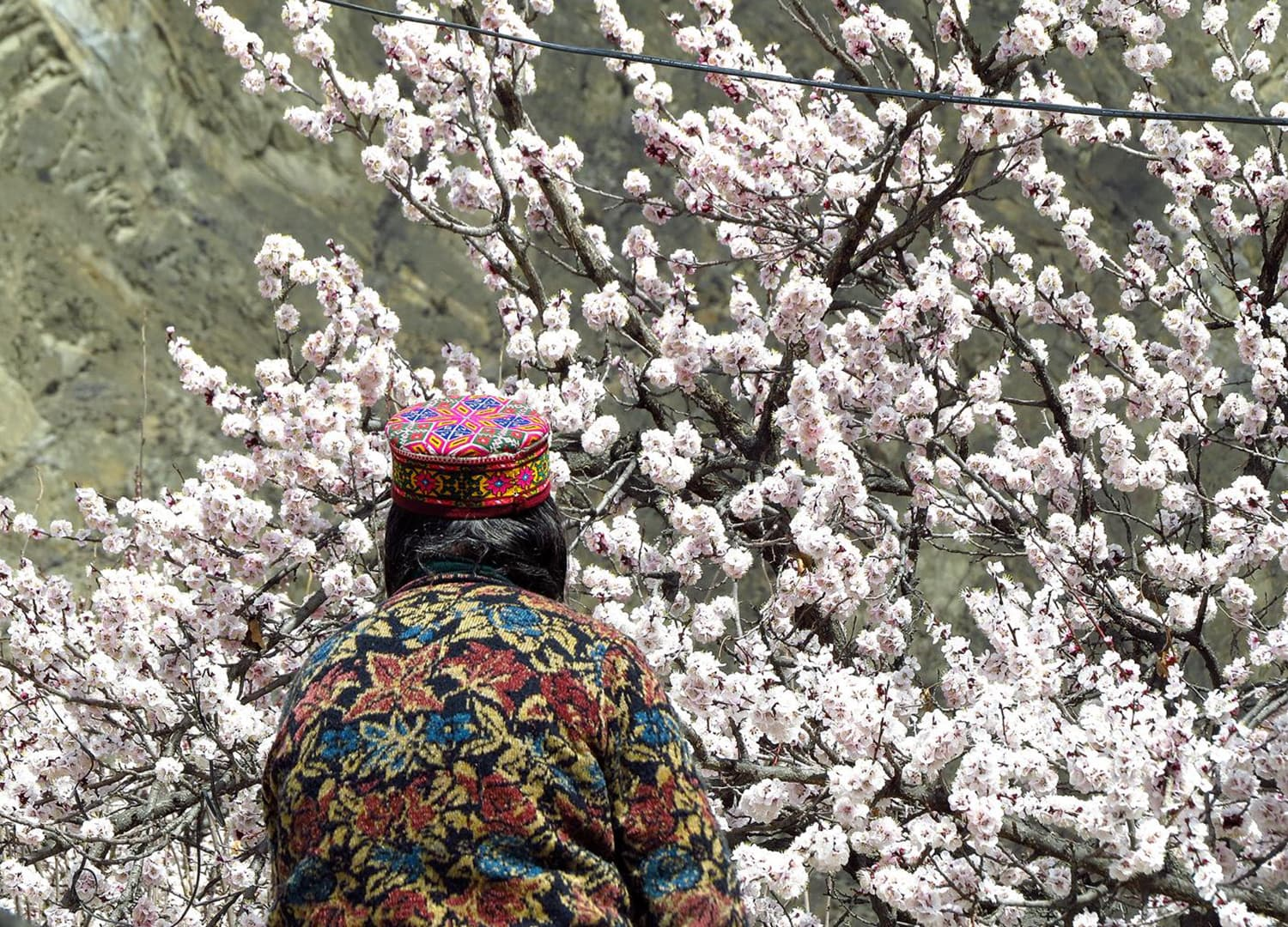 A woman stands amidst apricot blossoms in Karimabad, Hunza.