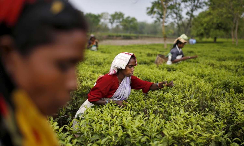Tea garden workers pluck tea leaves inside Aideobarie Tea Estate in Jorhat in Assam, India, April 21, 2015. — Reuters
