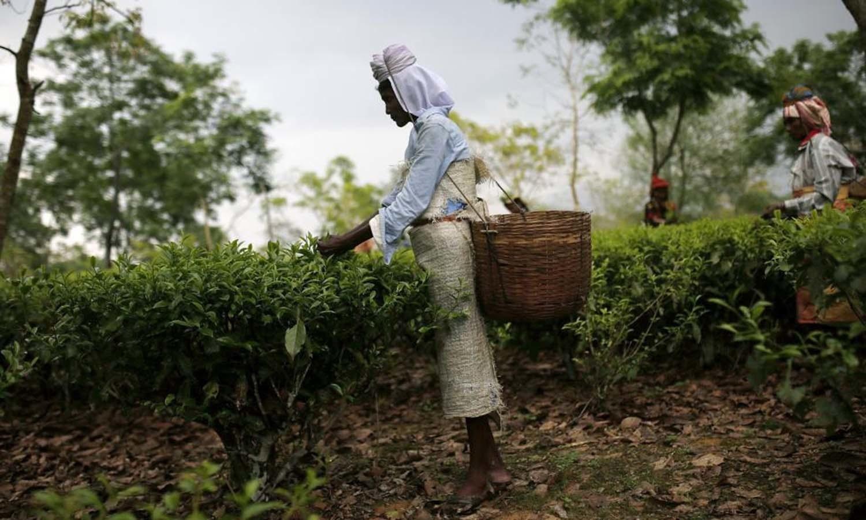 A tea garden worker plucks tea leaves inside Aideobarie Tea Estate in Jorhat in Assam — Reuters