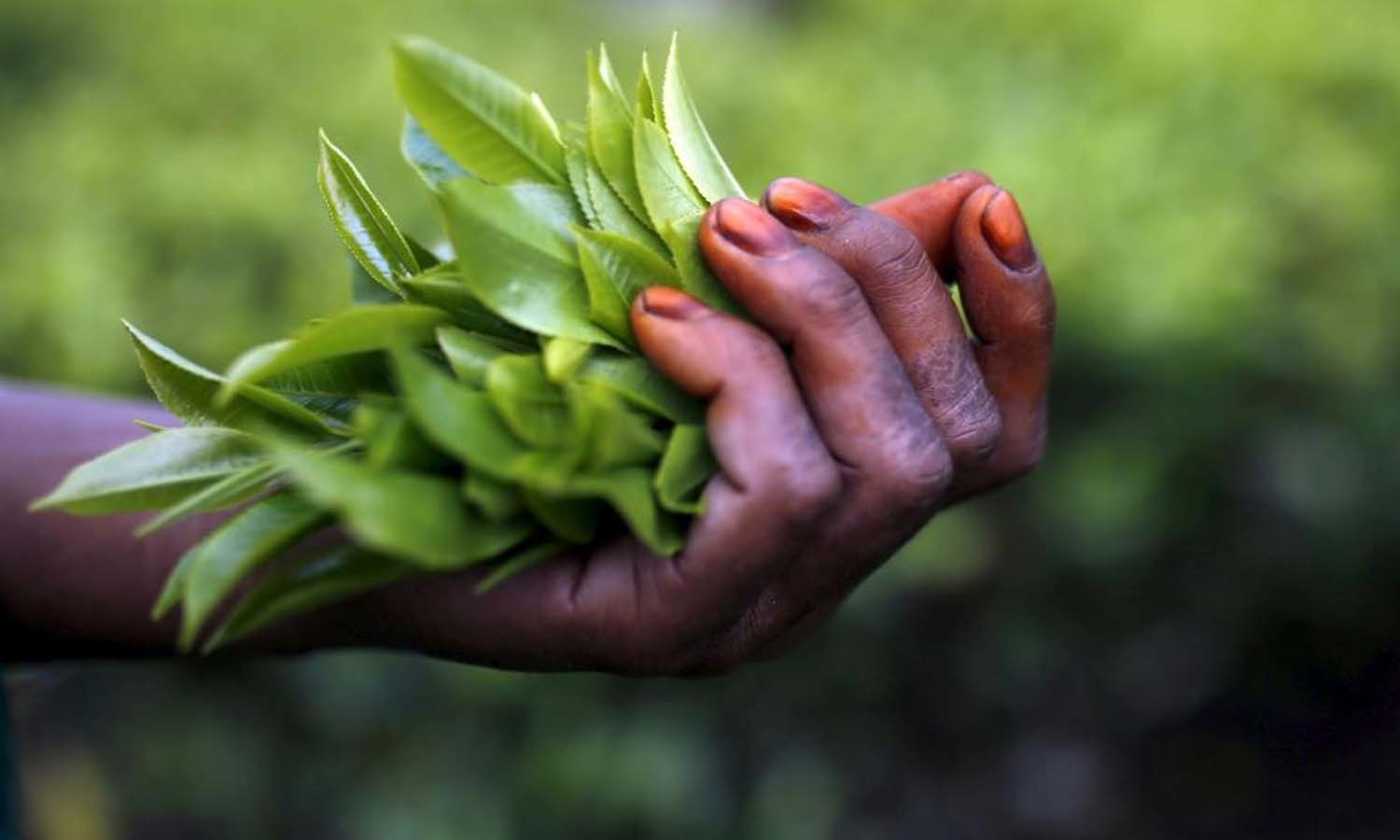 Freshly plucked tea leaves are seen in the hand of a tea garden worker inside Aideobarie Tea Estate in Jorhat in Assam. — Reuters