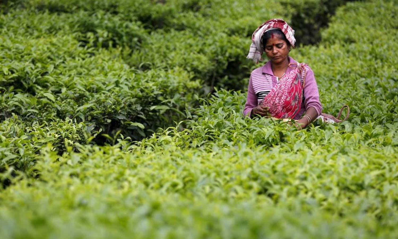 A tea garden worker plucks tea leaves inside Aideobarie Tea Estate in Jorhat in Assam. — Reuters