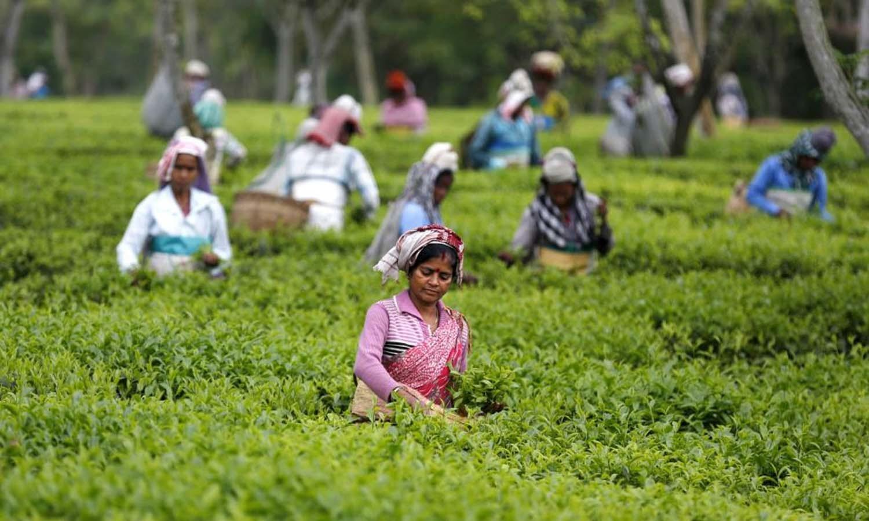 Tea garden workers pluck tea leaves inside Aideobarie Tea Estate in Jorhat in Assam. — Reuters