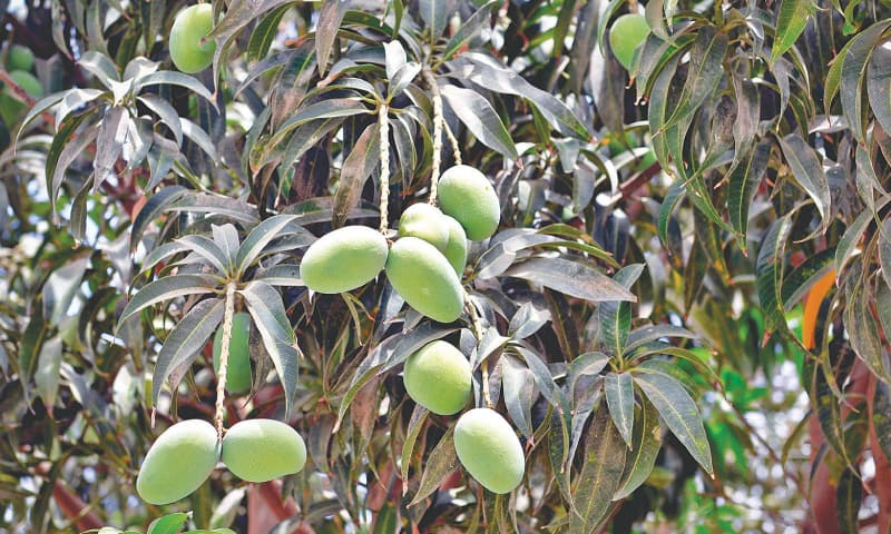 Who can resist unripe mangoes?  / Photos by Fahim Siddiqi/White Star