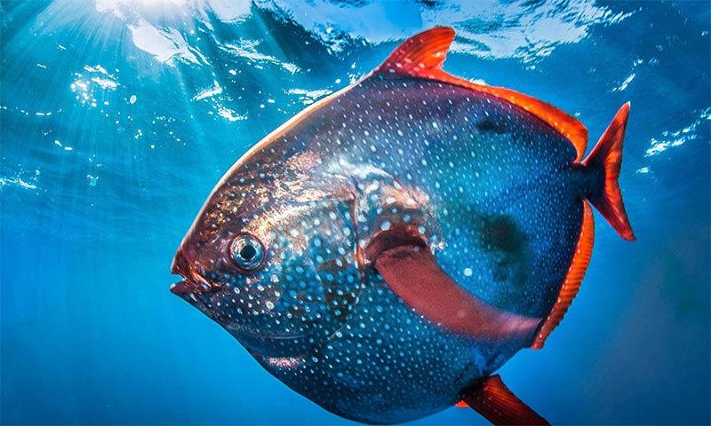 دنیا کی پہلی گرم خون والی مچھلی دریافت