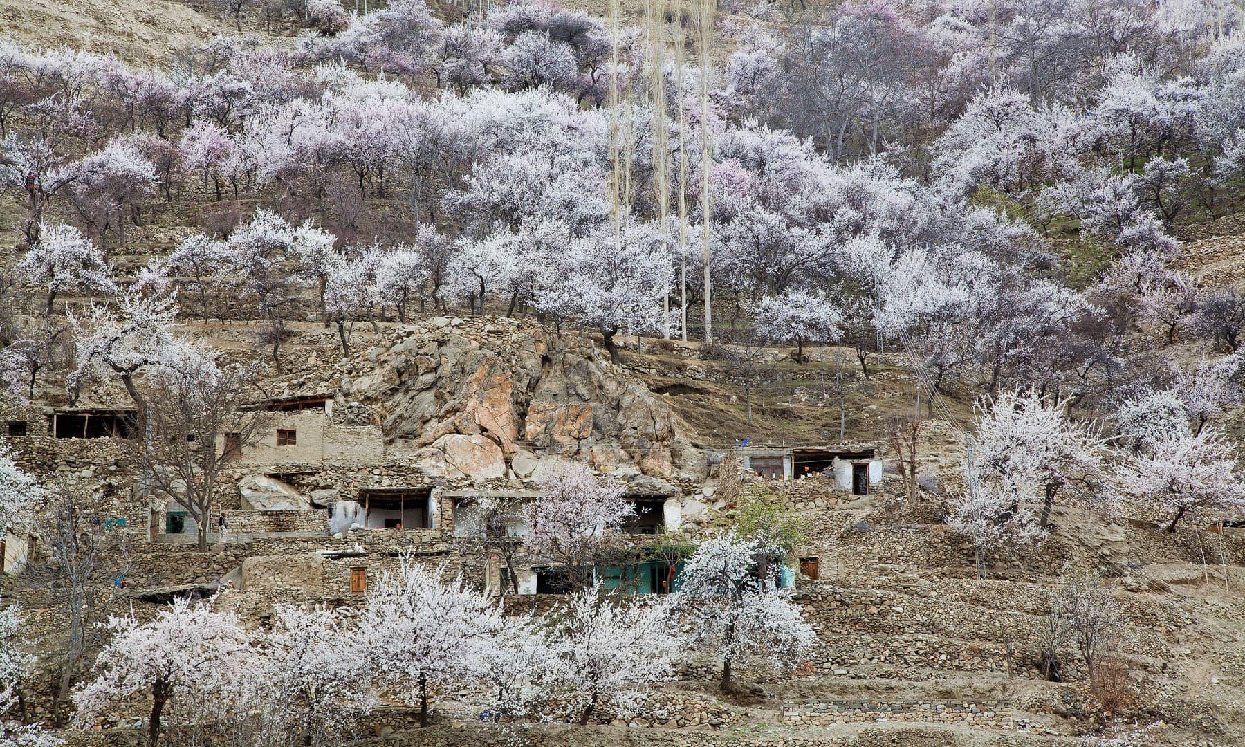 Cherry blossom in Nagar khas.