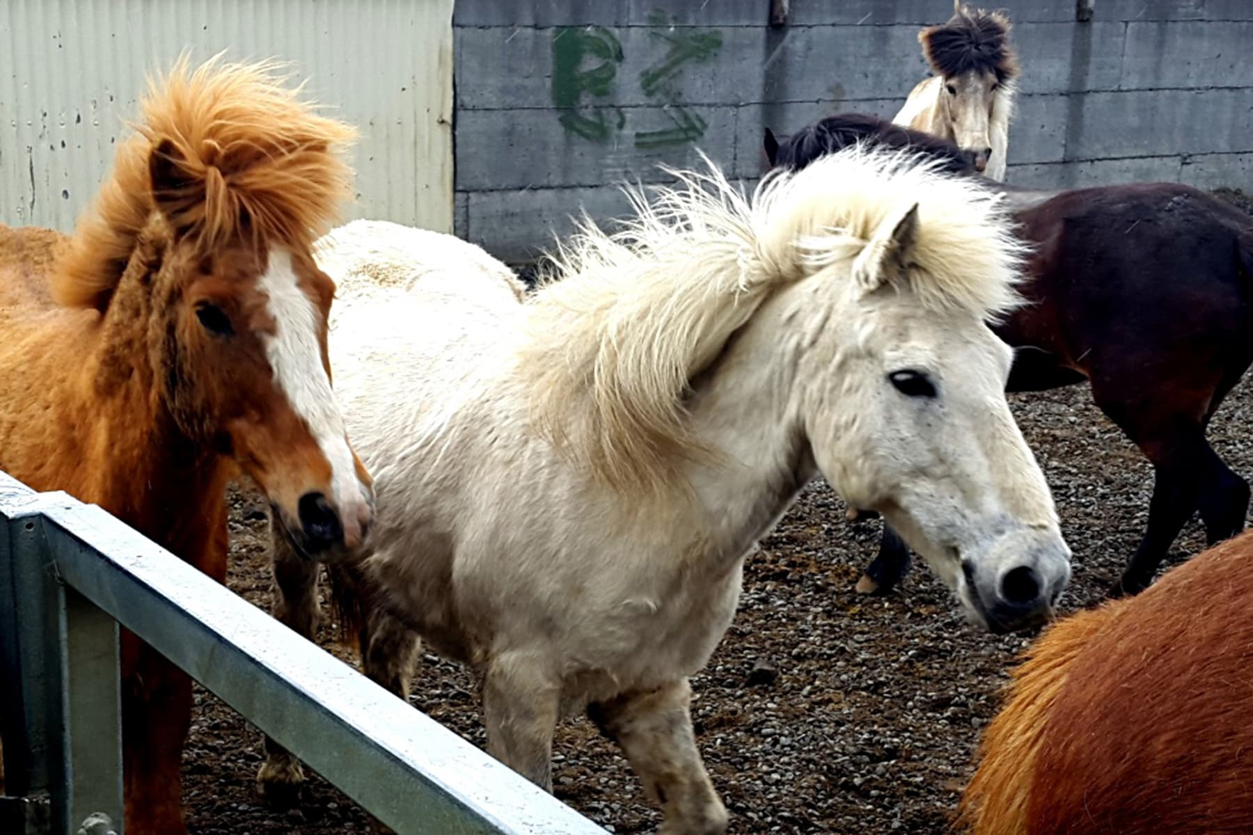 Viking horses are the only breed of horses allowed in Iceland. Once a horse leaves, he cannot be brought back. Over centuries, Viking horses have adapted to the island's versatile terrain.