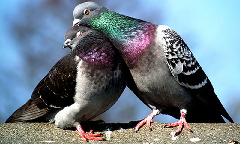 Pakistani spy pigeon: The proof