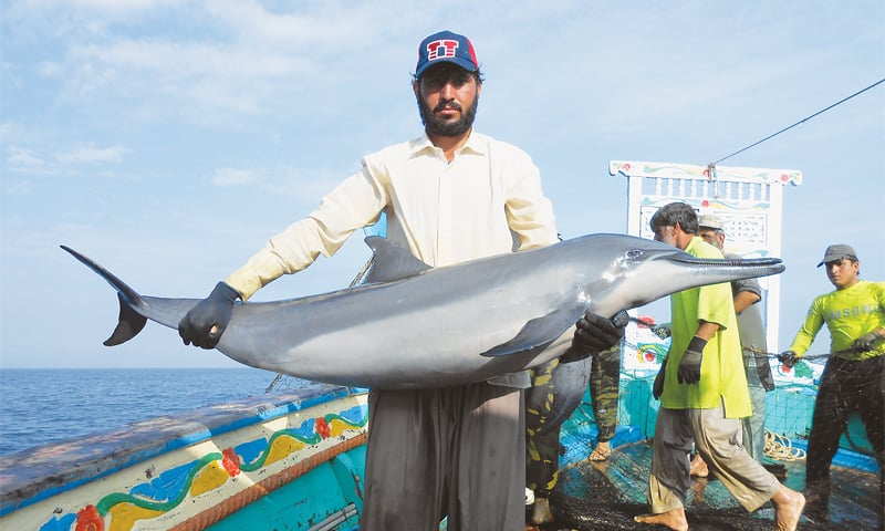 A pantropical spotted dolphin caught off the coast of Ormara, Balochistan.